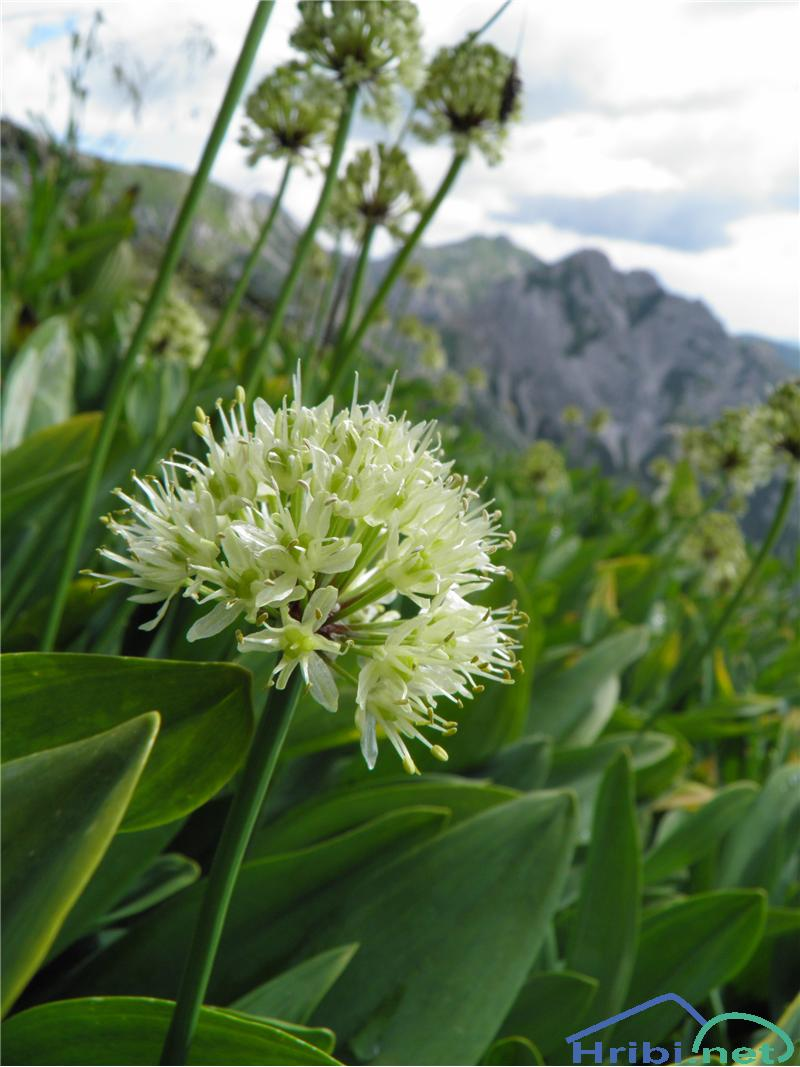 Vanež (Allium victorialis) - SlikaVanež (Allium victorialis), foto Otiv.