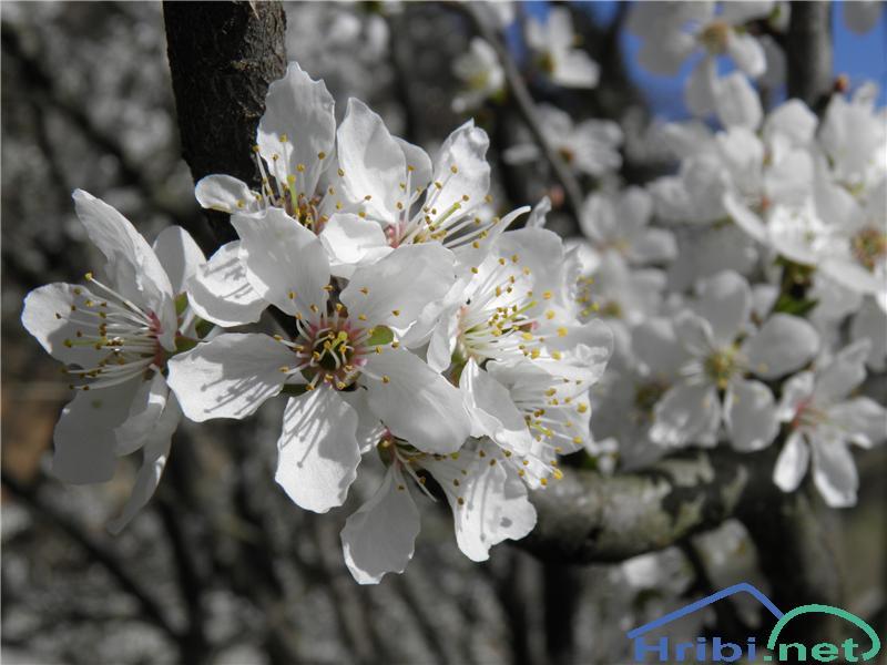 Divja češnja (Prunus avium) - PictureDivja češnja (Prunus avium), foto Otiv.