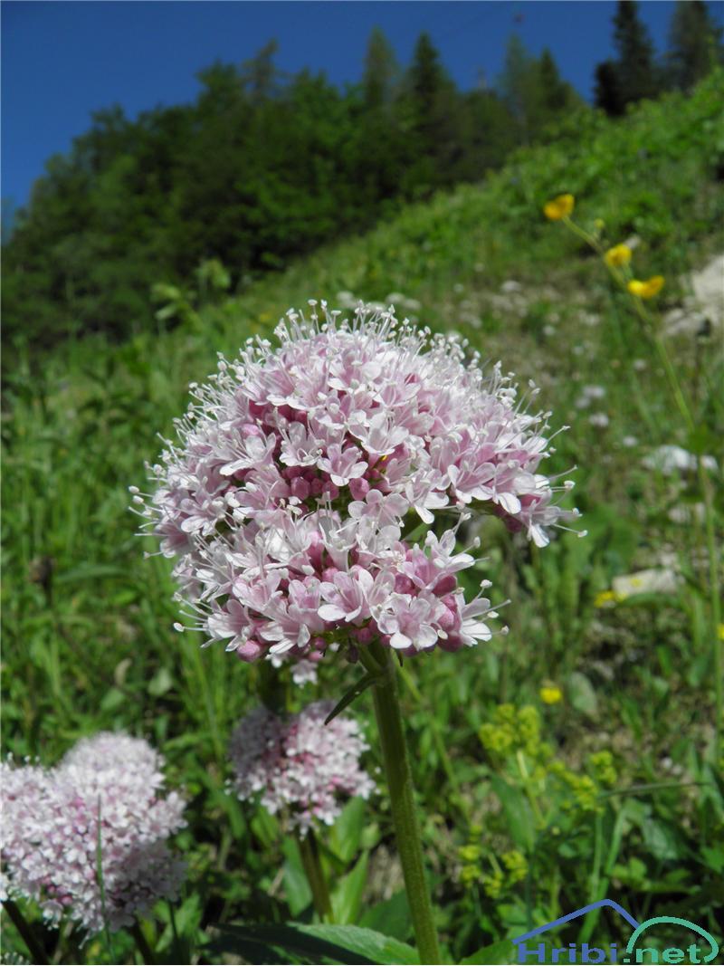 Tripernata špajka (Valeriana tripteris) - PictureTripernata špajka (Valeriana tripteris), foto Otiv.