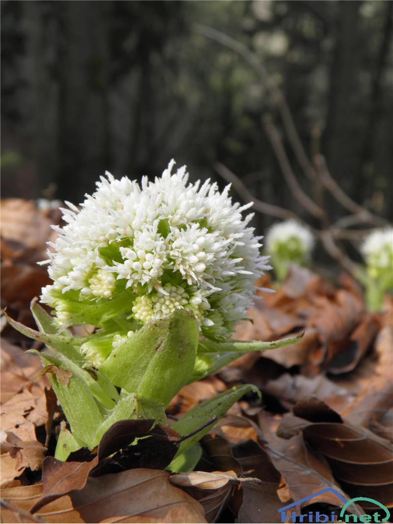 Beli repuh (Petasites albus) - PictureBeli repuh (Petasites albus), foto Otiv.