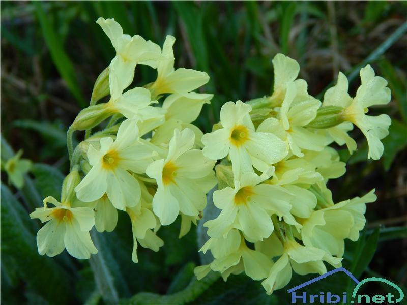 Visoki jeglič (Primula elatior) - SlikaVisoki jeglič (Primula elatior)