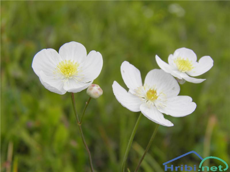 Platanolistna zlatica (Ranunculus platanifolius) - PicturePlatanolistna zlatica (Ranunculus platanifolius), foto Otiv.