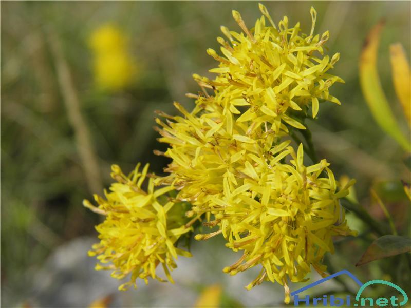 Zlata nebina (Aster linosyris) - PictureZlata nebina (Aster linosyris), foto Otiv.
