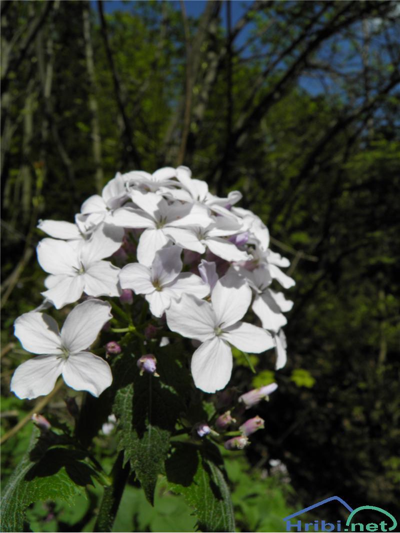 Navadna česnovka (Alliaria alliaria) - PictureNavadna česnovka (Alliaria alliaria), foto Otiv.
