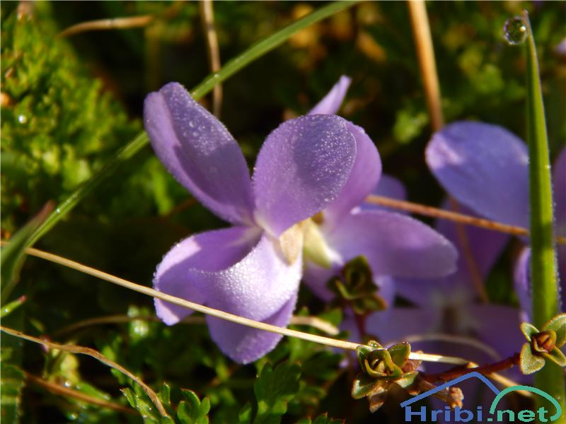 Srhkodlakava vijolica (Viola hirta) - SlikaSrhkodlakava vijolica (Viola hirta)