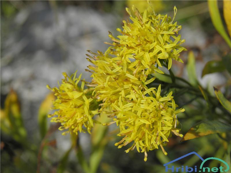 Zlata nebina (Aster linosyris) - SlikaZlata nebina (Aster linosyris), foto Otiv.