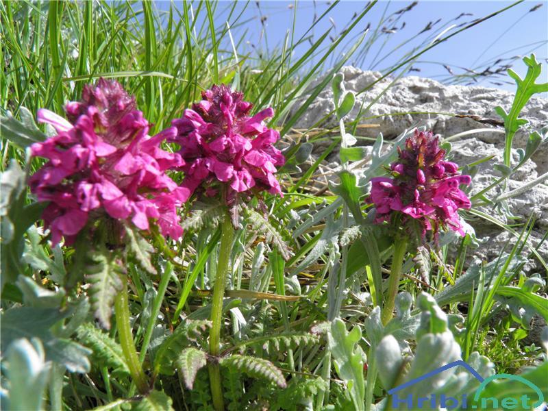 Vretenčasti ušivec (Pedicularis verticillata) - SlikaVretenčasti ušivec (Pedicularis verticillata), foto Otiv.