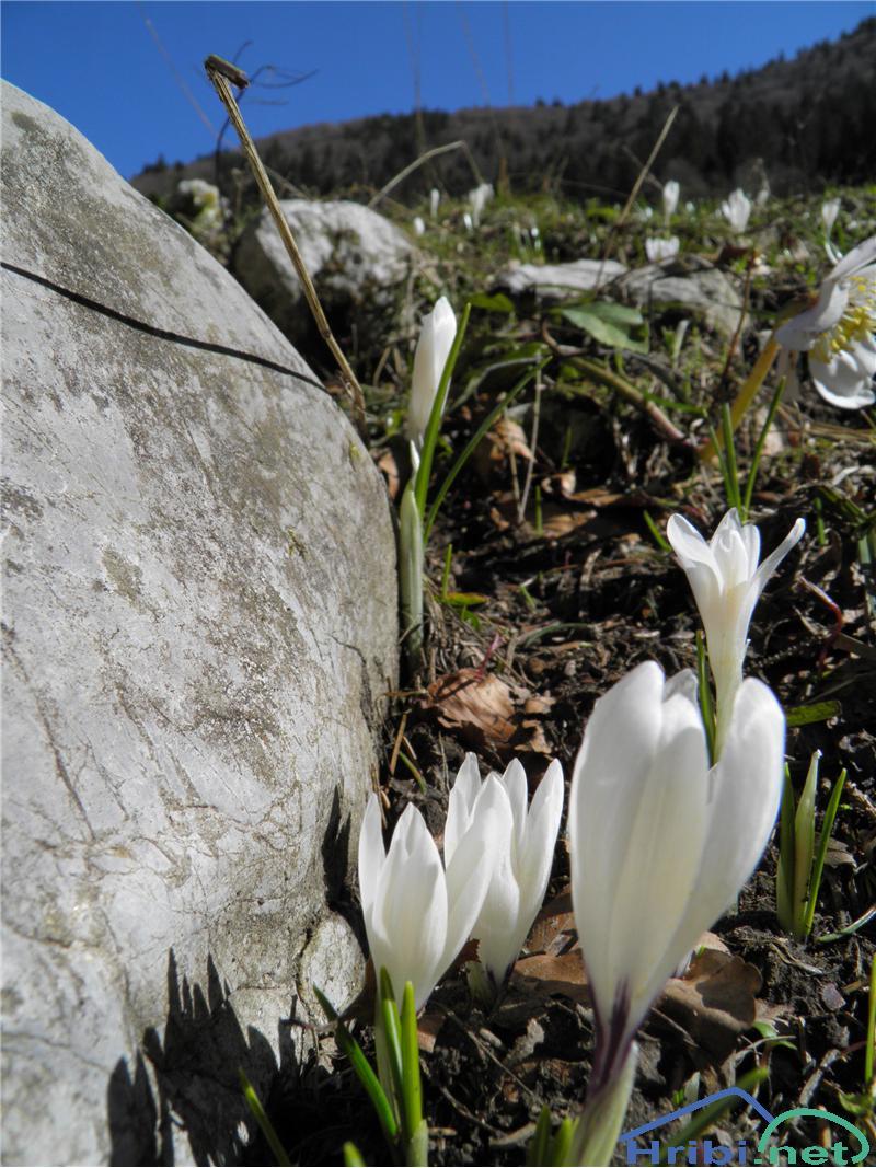 Beli žafran ali nunka (Crocus vernus albiflorus) - PictureBeli žafran (Crocus vernus albiflorus), foto Otiv.