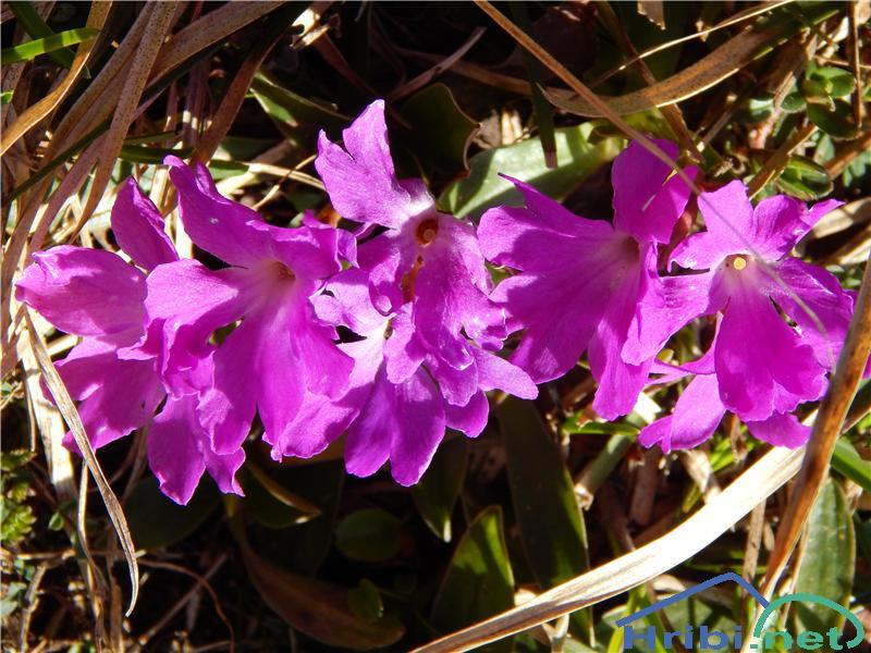 Wulfenov jeglič (Primula wulfeniana) - PictureWulfenov jeglič (Primula wulfeniana)