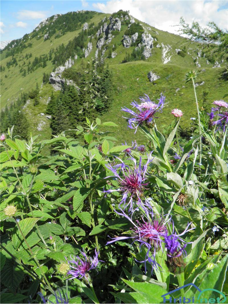 Gorski glavinec (Centaurea montana) - PictureGorski glavinec (Centaurea montana), foto Otiv.