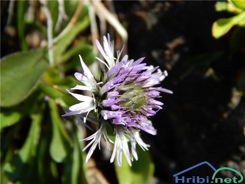 Srčastolistna mračica (Globularia cordifolia) - SlikaSrčastolistna mračica (Globularia cordifolia)