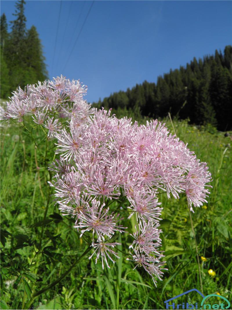 Orličnolistni talin ali vetrovka (Thalictrum aquilegiifolium) - SlikaOrličnolistni talin ali vetrovka (Thalictrum aquilegiifolium), foto Otiv.