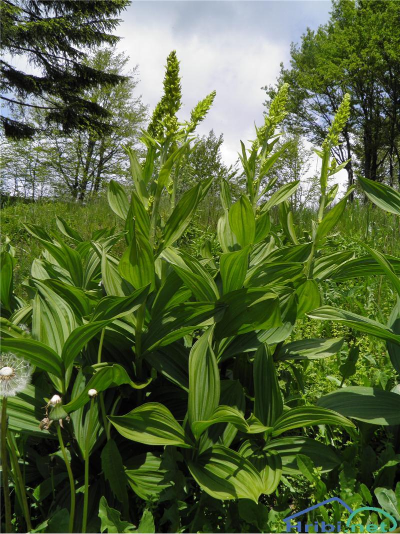 Lobelova zelena čmerika (Veratrum album subsp. lobelianum) - PictureZelena čmerika (Veratrum album lobelianum), foto Otiv.