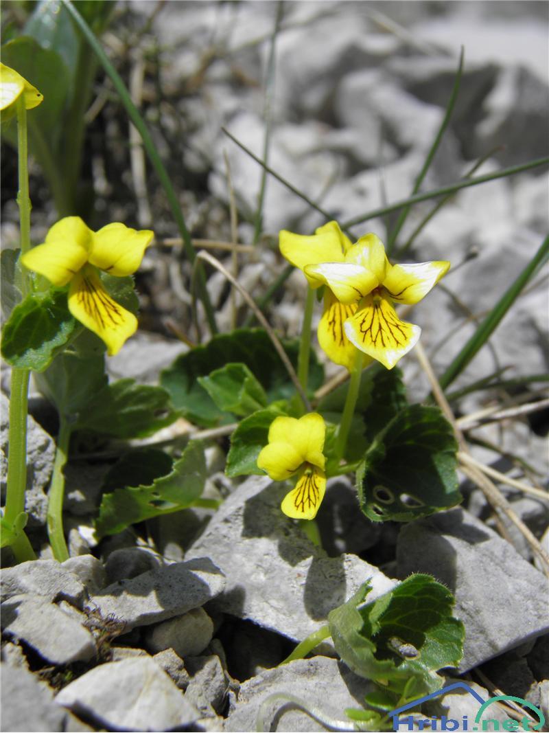 Dvocvetna vijolica (Viola biflora) - PictureDvocvetna vijolica (Viola biflora), foto Otiv.