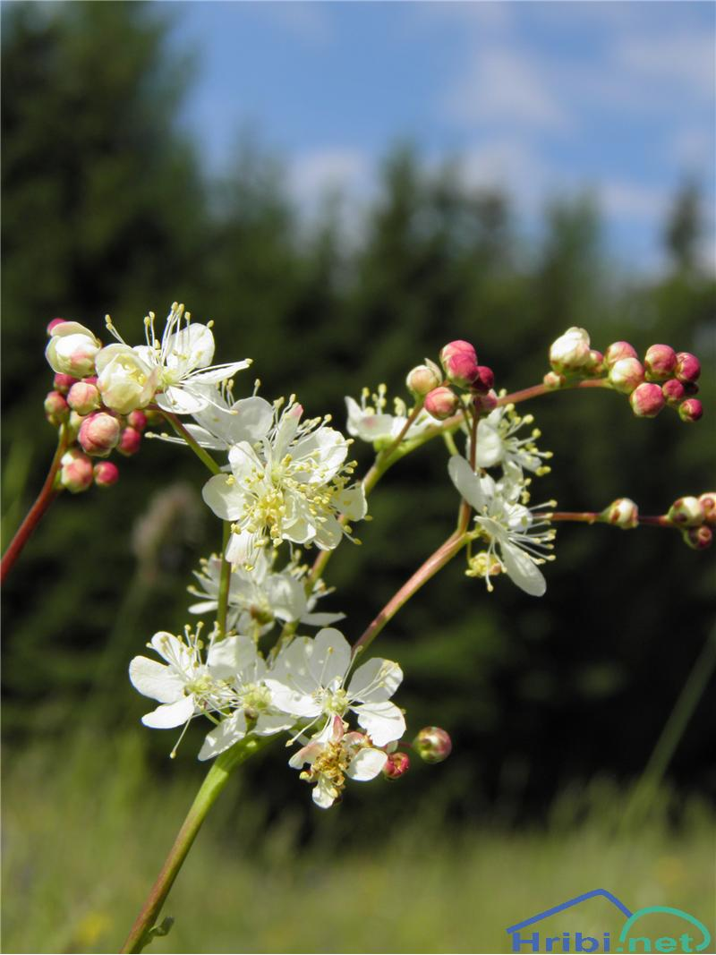 Navadni oslad (Filipendula vulgaris) - SlikaNavadni oslad (Filipendula vulgaris), foto Otiv.