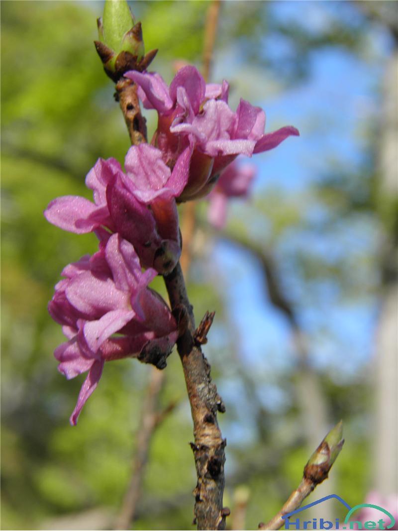 Navadni volčin (Daphne mezereum) - PictureNavadni volčin (Daphne mezereum), foto Otiv.
