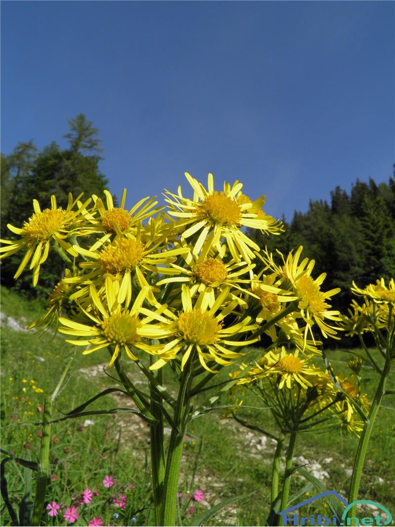 Obirska sivica (Tephroseris longifolia) - PictureObirska sivica (Tephroseris longifolia), foto Otiv.