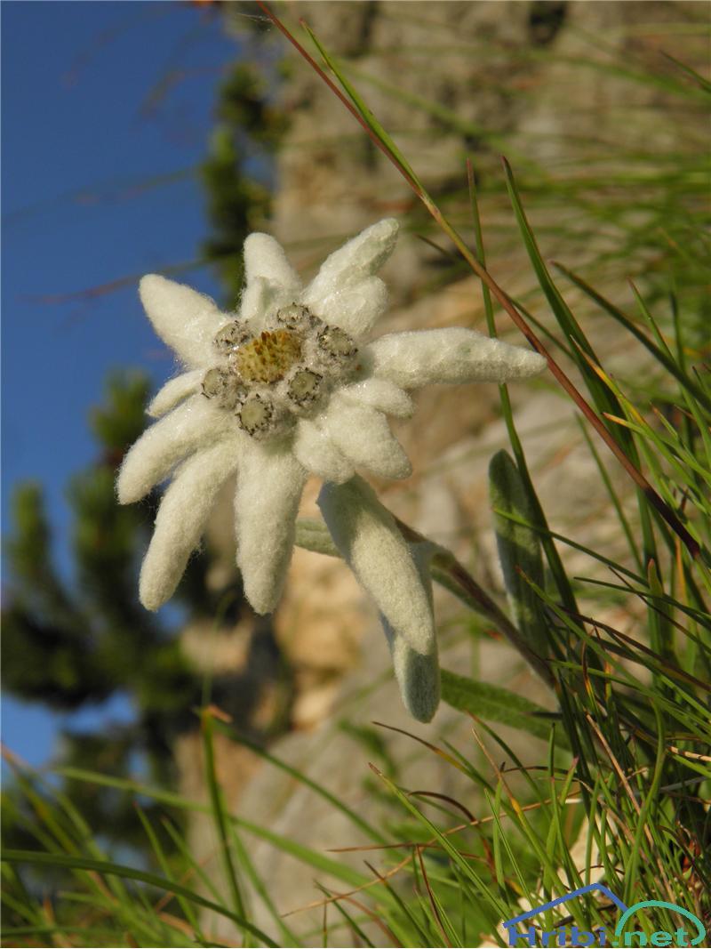 Planika ali očnica (Leontopodium alpinum) - SlikaPlanika (Leontopodium alpinum), foto Otiv.