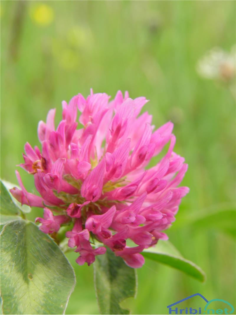 Črna detelja (Trifolium pratense) - PictureČrna detelja (Trifolium pratense), foto Otiv.