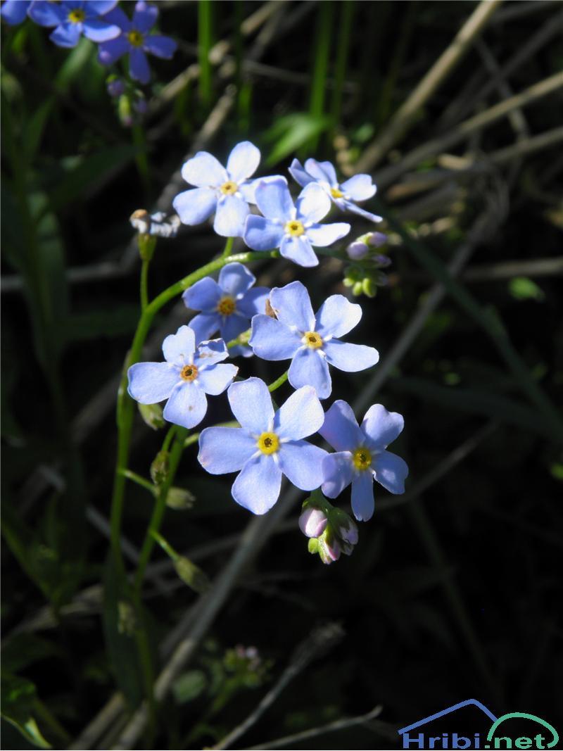 Gozdna spominčica (Myosotis sylvatica) - SlikaGozdna spominčica (Myosotis sylvatica), foto Otiv.