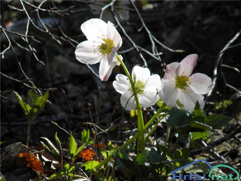 Črni teloh (Helleborus niger) - PictureČrni teloh (Helleborus niger), foto Otiv.