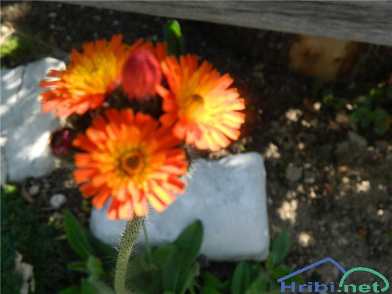 Oranžna škržolica (Hieracium aurantiacum) - PictureOranžna škržolica (Hieracium aurantiacum), foto Apolonija.