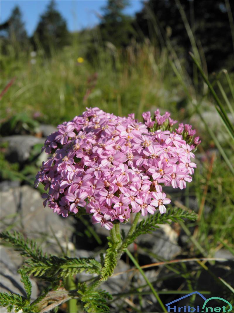 Navadni rman (Achillea millefolium) - SlikaNavadni rman (Achillea millefolium), foto Otiv.