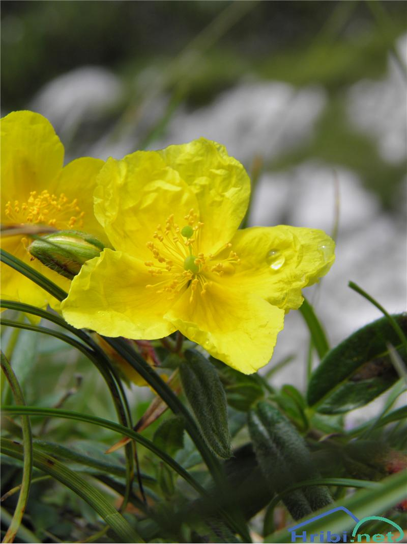 Planinski popon ali planinsko sončece (Helianthemum alpestre) - SlikaPlaninski popon ali planinsko sončece (Helianthemum alpestre), foto Otiv.