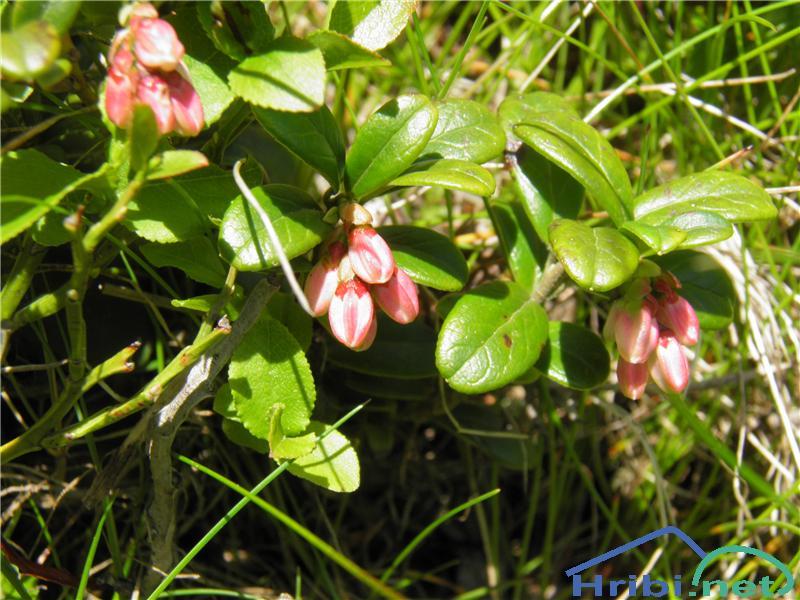 Brusnica (Vaccinium vitis-idaea) - PictureBrusnica (Vaccinium vitis-idaea), foto Otiv.