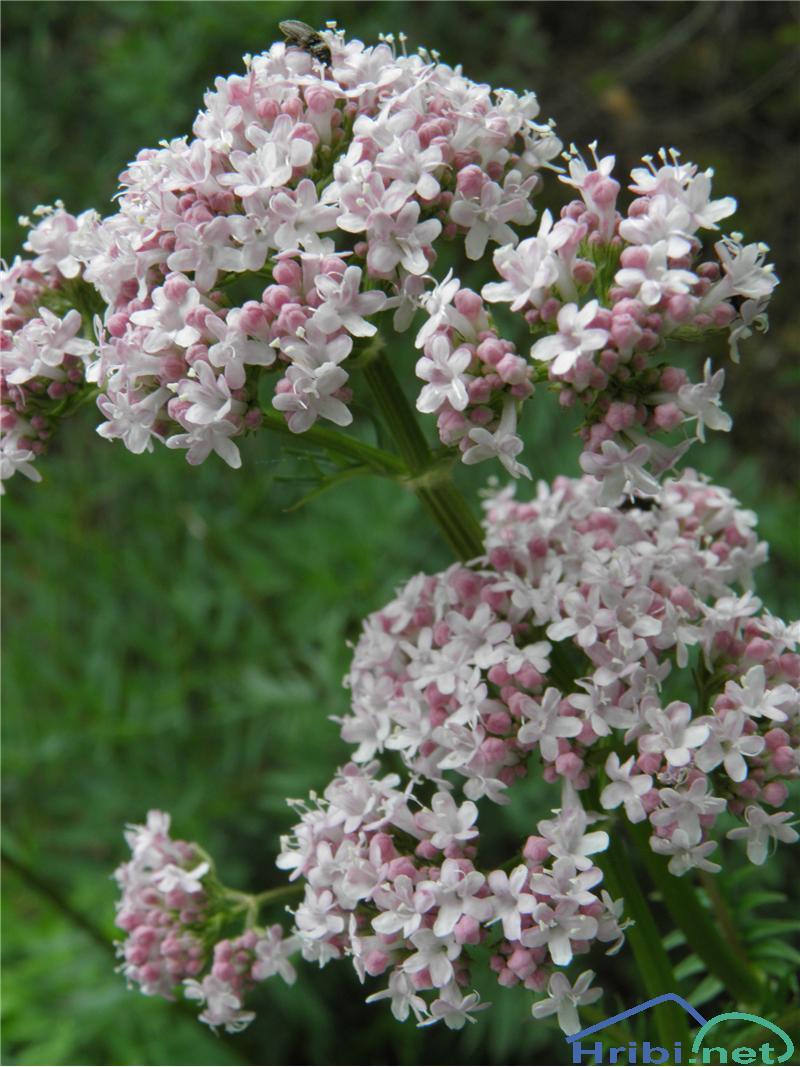 Zdravilna špajka (Valeriana officinalis) - PictureZdravilna špajka (Valeriana officinalis), foto Otiv.