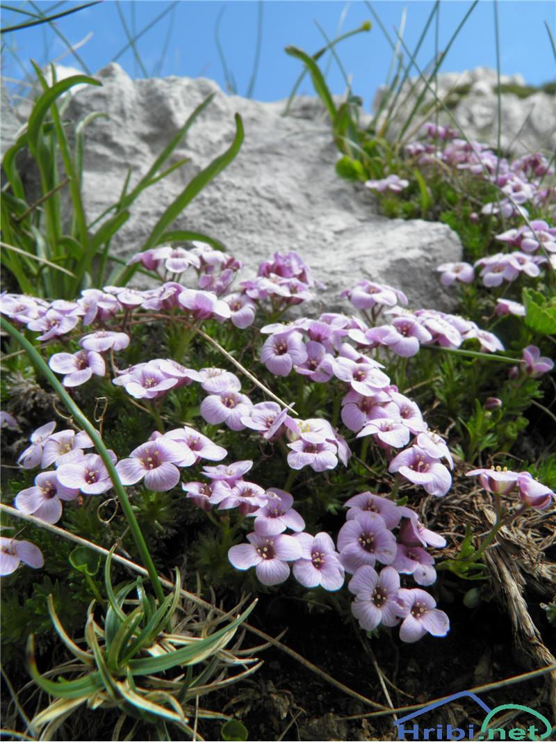 Pirenejski kamnokras (Petrocallis pyrenaica) - PicturePirenejski kamnokras (Petrocallis pyrenaica), foto Otiv.