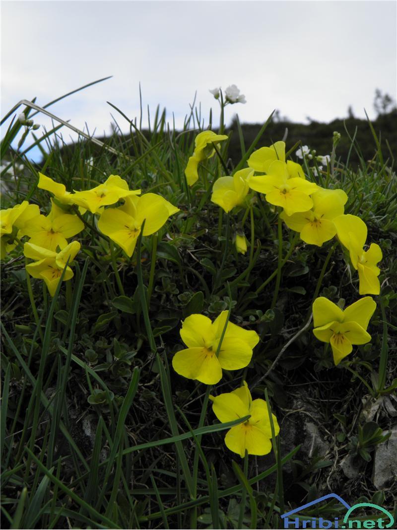 Zoisova vijolica (Viola zoysii) - PictureZoisova vijolica (Viola zoysii), foto Otiv.