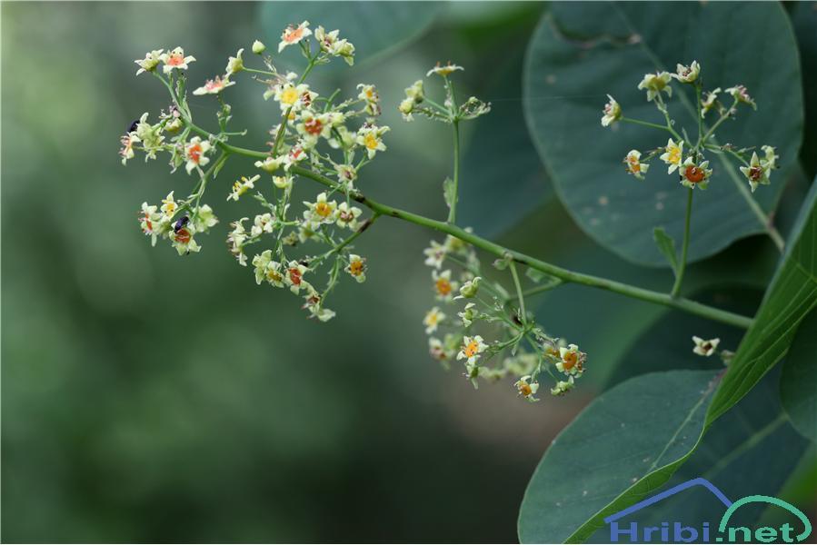 Ruj (Cotinus coggygria) - PictureRuj (Cotinus coggygria), foto B.C.