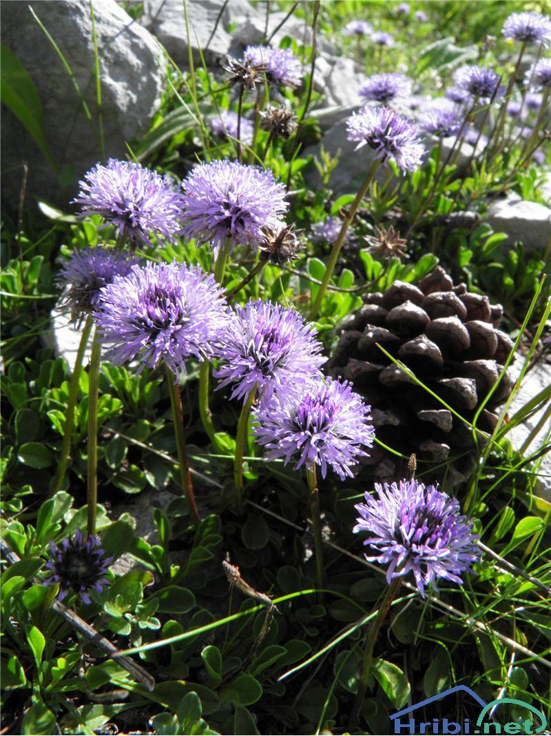 Srčastolistna mračica (Globularia cordifolia) - PictureSrčastolistna mračica (Globularia cordifolia), foto Otiv.