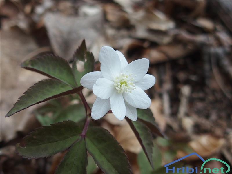 Trilistna vetrnica (Anemone trifolia) - SlikaTrilistna vetrnica (Anemone trifolia), foto Otiv.