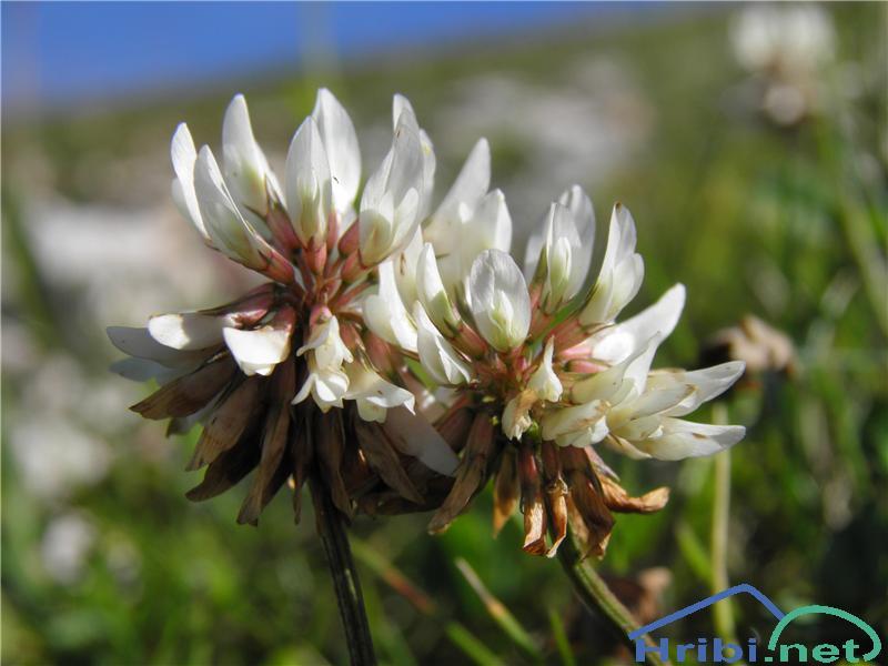 Plazeča ali bela detelja (Trifolium repens) - SlikaBela detelja (Trifolium repens L.), foto Otiv.