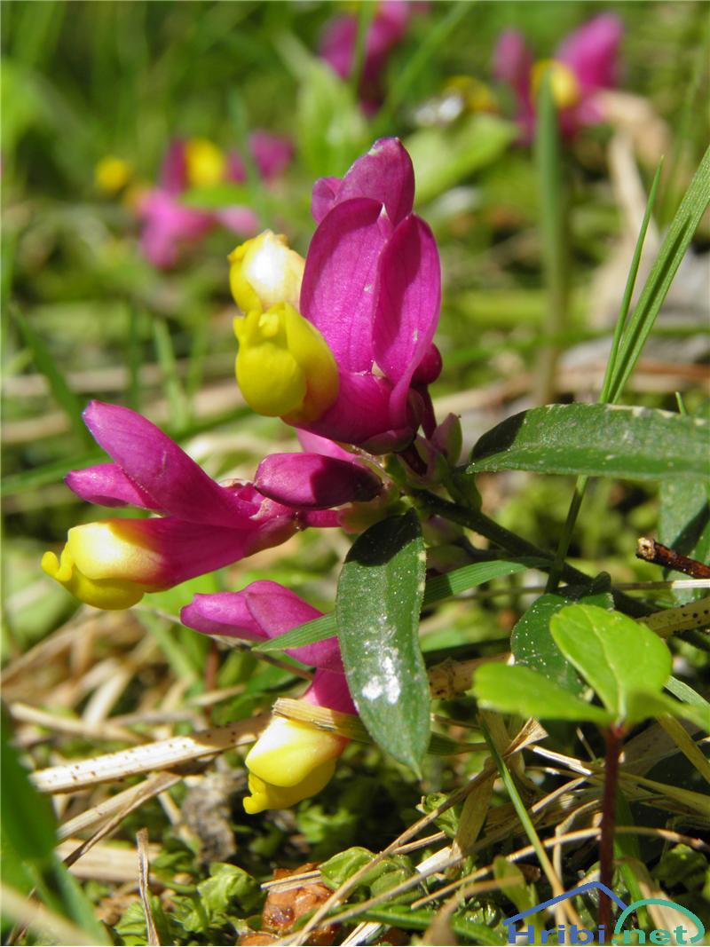 Žanjevec (Polygala Chamaebuxus) - PictureŽanjevec (Polygala Chamaebuxus), foto Otiv.