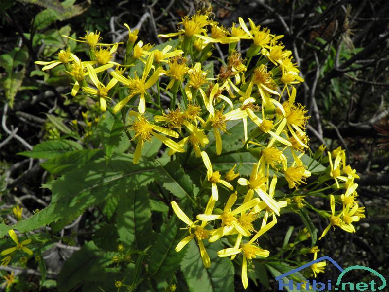 Gozdni grint (Senecio nemorensis) - PictureGozdni grint (Senecio nemorensis), foto Otiv.