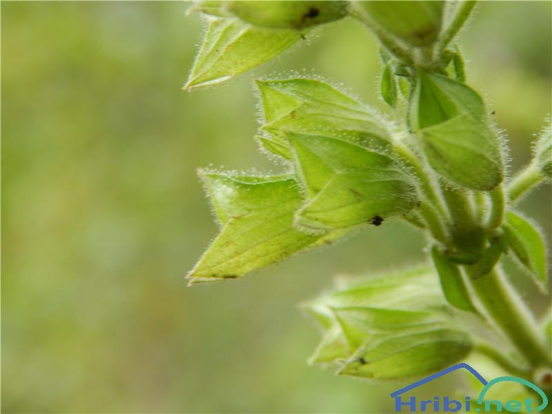 Lepljiva kadulja (Salvia glutinosa) - PictureLepljiva kadulja (Salvia glutinosa)