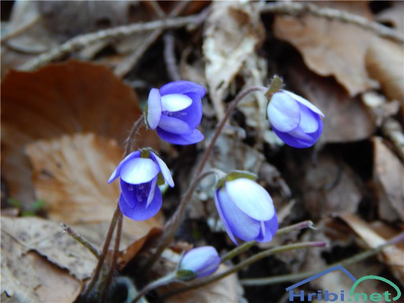 Navadni jetrnik (Hepatica nobilis) - PictureNavadni jetrnik (Hepatica nobilis)