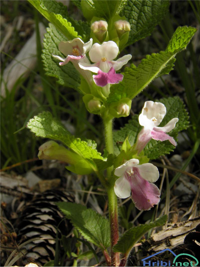 Navadna medenika (Melittis melissophyllum) - SlikaNavadna medenika (Melittis melissophyllum), foto Otiv.