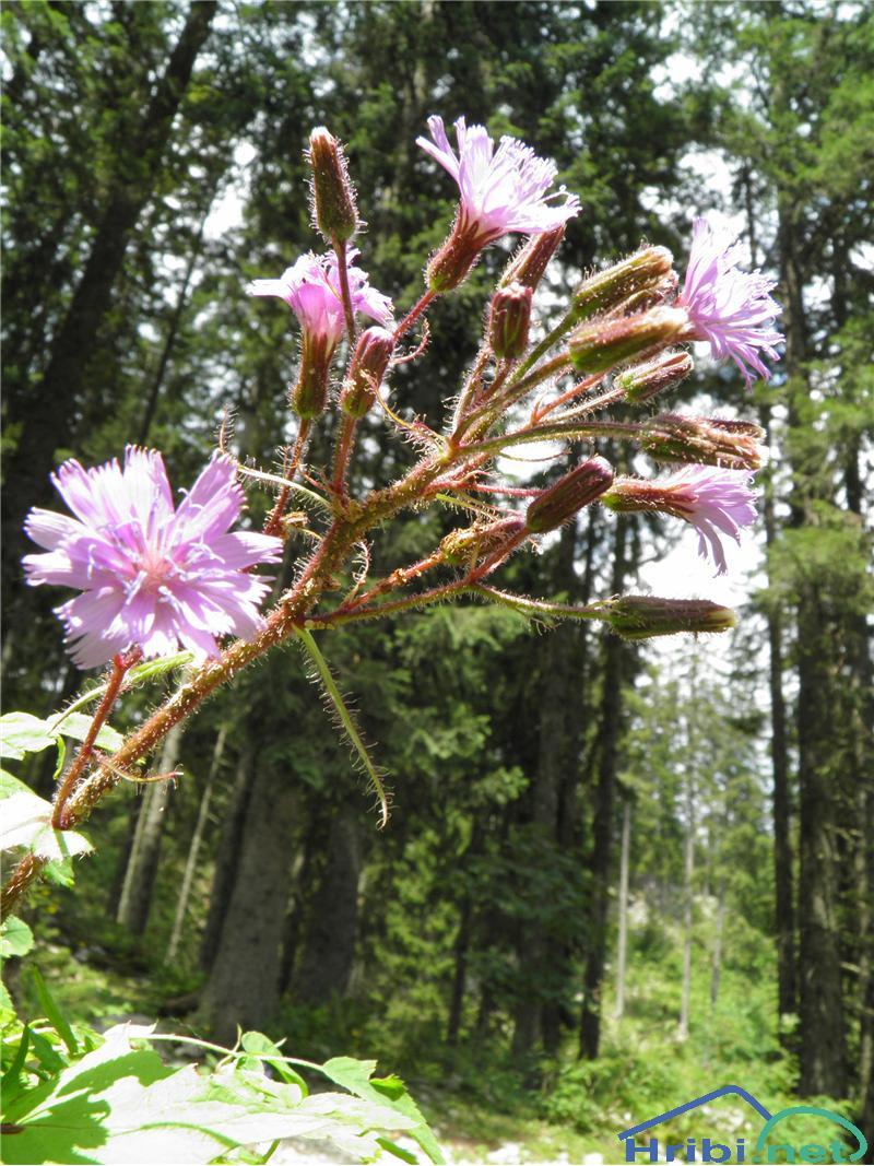 Navadna gorska ločika (Cicerbita alpina ali Mulgedium alpinum) - SlikaNavadna gorska ločika (Cicerbita alpina), foto Otiv.