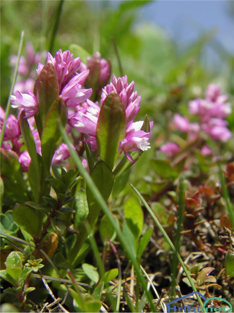 Predalpska grebenuša (Polygala alpestris) - PicturePredalpska grebenuša (Polygala alpestris), foto Otiv.