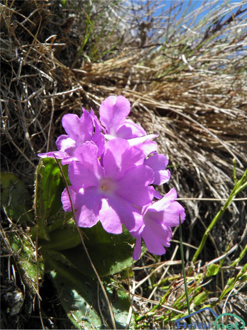 Kuštravi jeglič (Primula villosa) - Slika