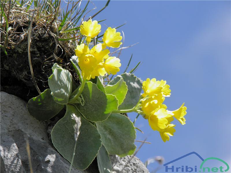 Lepi jeglič ali avrikelj (Primula auricula) - SlikaAvrikelj (Primula auricula), foto Otiv.