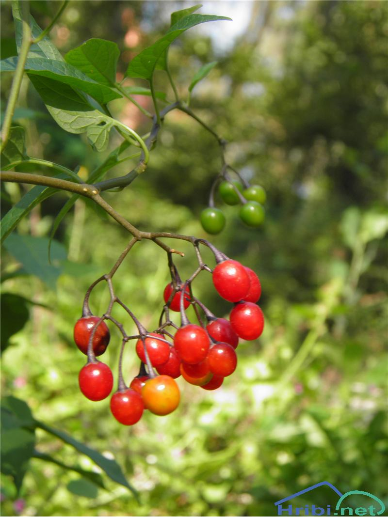 Grenkoslad (Solanum dulcamara) - SlikaGrenkoslad (Solanum dulcamara), foto Otiv.