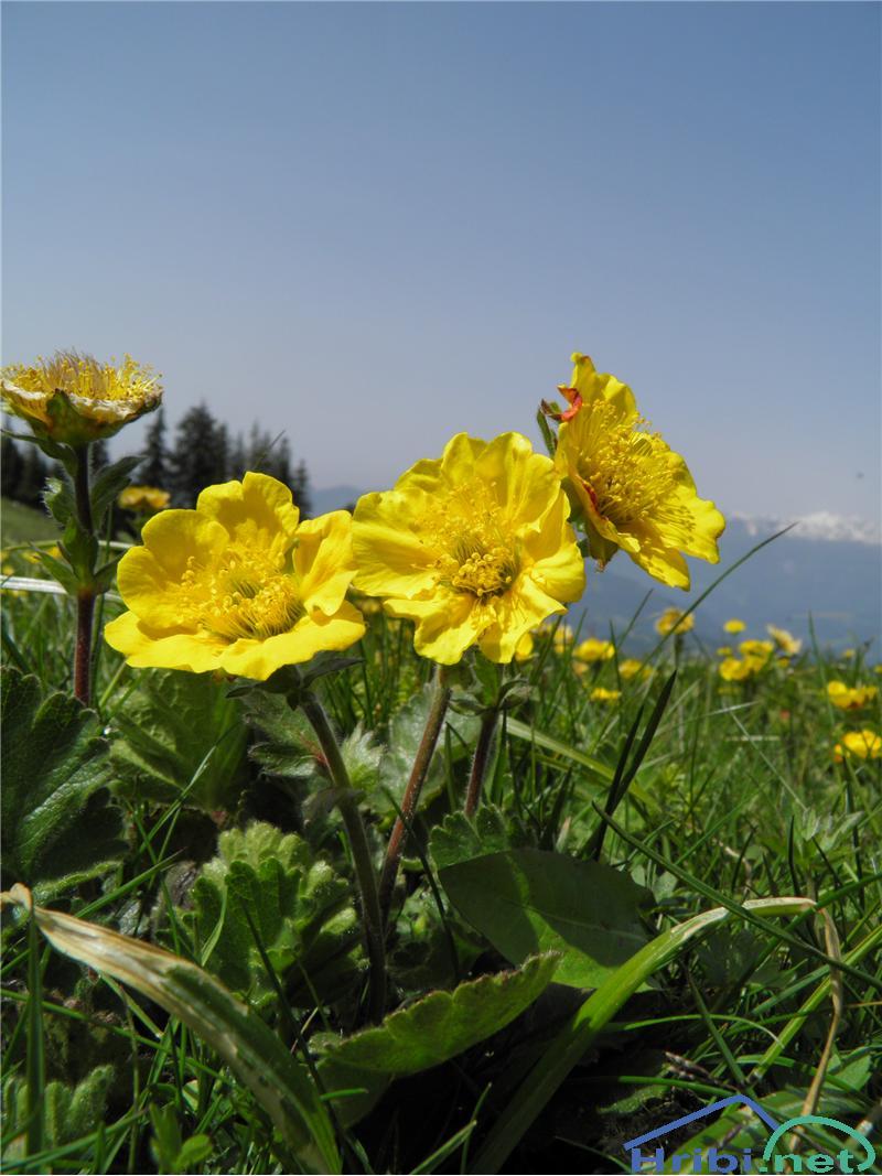 Gorska sretena (Geum montanum) - PictureGorska sretena (Geum montanum), foto Otiv.