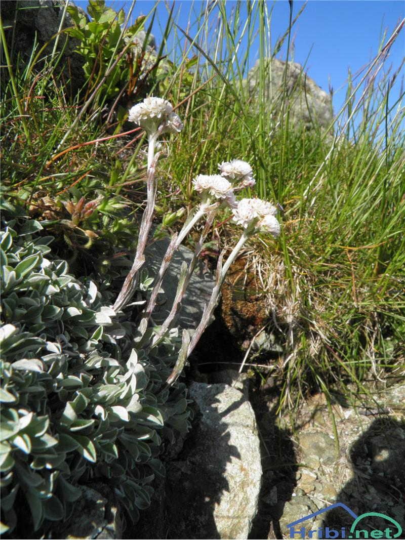 Navadna majnica (Antennaria dioica) - SlikaNavadna majnica (Antennaria dioica), foto Otiv.