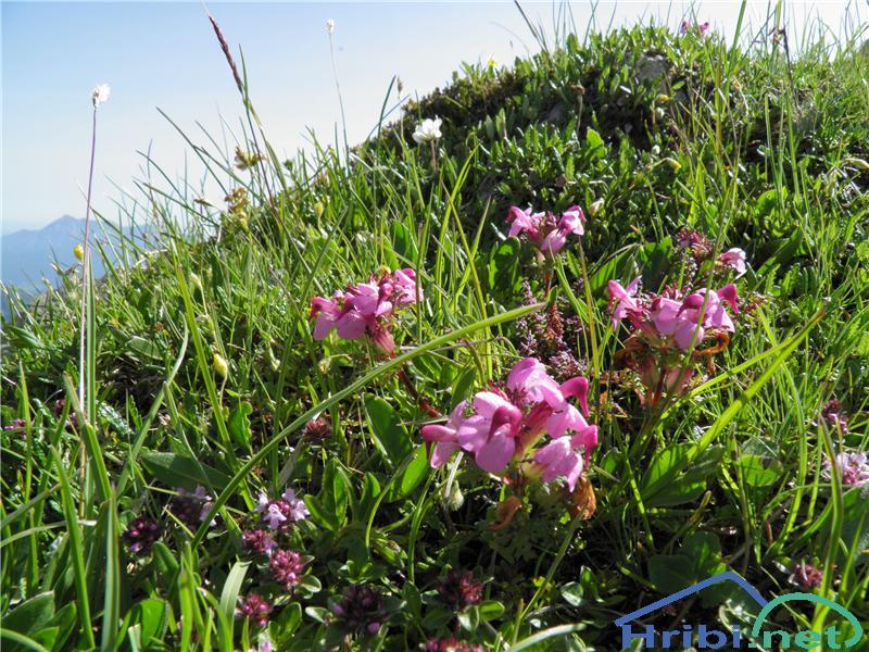 Glavičasti ušivec (Pedicularis rostratocapitata) - SlikaGlavičasti ušivec (Pedicularis rostratocapitata), foto Otiv.