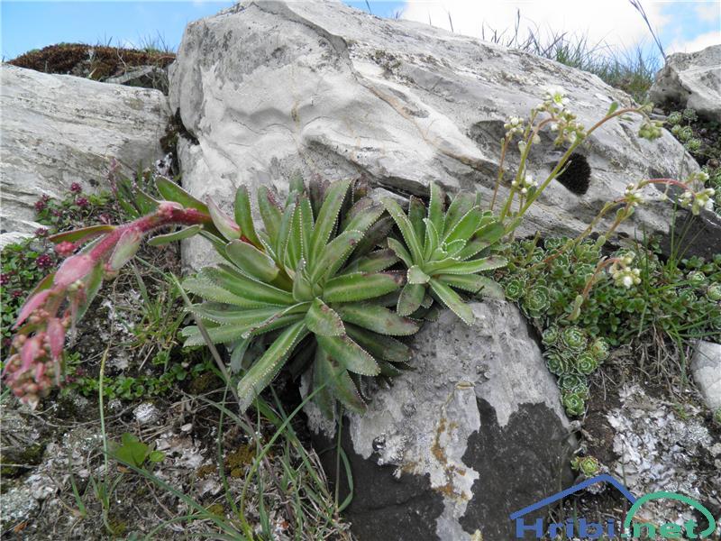 Hostov kamnokreč (Saxifraga hostii) - PictureHostov kamnokreč (Saxifraga hostii), foto Otiv.